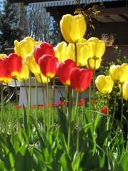 Spring tulips, Interlaken
