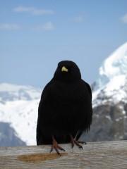 Black bird at Jungfraujoch