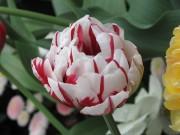 Tulip, Lusanne
