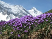 Spring flowers with Swiss alps in the background