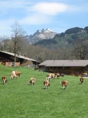Cows near Stechelberg