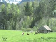 Feeding cows, Swiss countryside