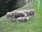 Sheep, Lauterbrunnen