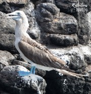 Blue-footed booby, Isla Plaza Sur