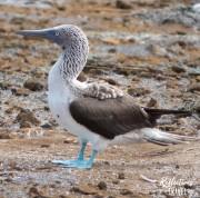 Blue-footed booby - Punta Pitt, Isla San Cristobal