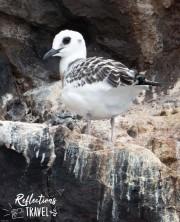 Swallow-tailed gull -  Caleta Bucanero, Isla Santiago