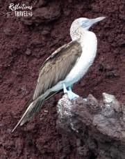 Blue-footed booby -  Caleta Bucanero, Isla Santiago