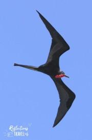 Magnificent Frigatebird, Isla Baltra