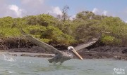 Bown Pelican, Isla Isabela
