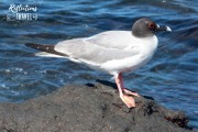 Swallow-tailed gull, Isla Plaza Sur