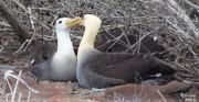 Waved albatross - Punta Suarez - Isla Espanola