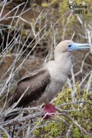 Red-footed booby - Punta Pitt, Isla San Cristobal