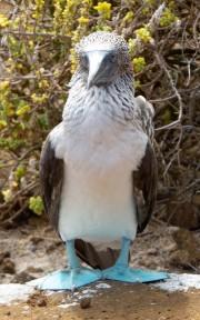 Blue-footed booby-  Punta Pitt, Isla San Cristobal