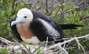 Great Frigatebird - Isla Lobos, Isla San Cristobal