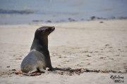Galapagos sea lion - Puerto Villamil, Isla Isabela © Linda Hartskeerl