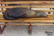 Galapagos sea lion, Isla Santa Cruz