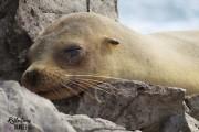 Galapagos sea lion, Isla Santa Fe