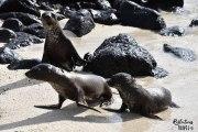 Galapagos sea lion, Isla Plaza Sur © Linda Hartskeerl