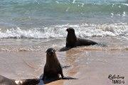 Galapagos sea lion -  Isla Plaza Sur © Linda Hartskeerl