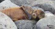 Galapagos sea lion -  Isla Espanola