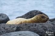 Galapagos sea lion,  Isla San Cristobal