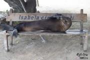 Galapagos sea lion - Puerto Villamil, Isla Isabela